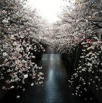 目黒川の桜が開花